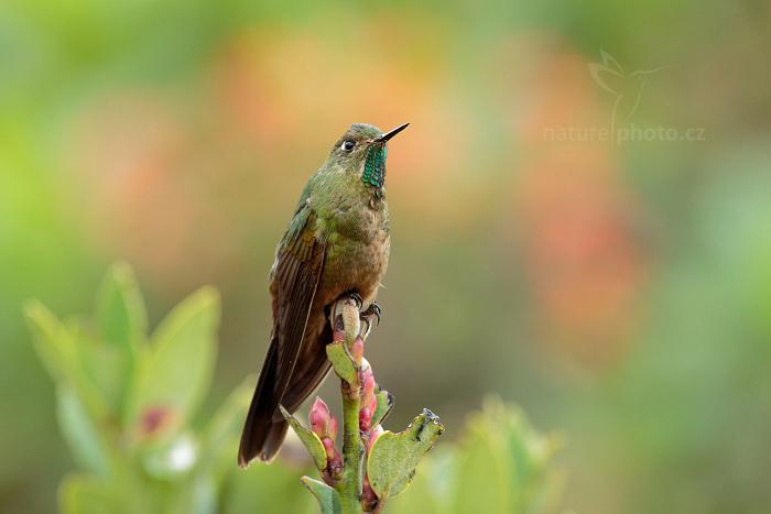 Kolibřík dřišťálový (Metallura tyrianthina)