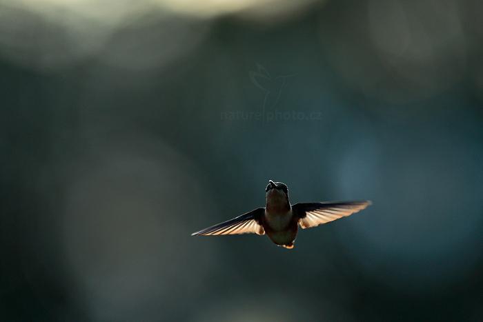 Kolibřík ostroocasý (Chaetocercus mulsant (Acestrura mulsanti)