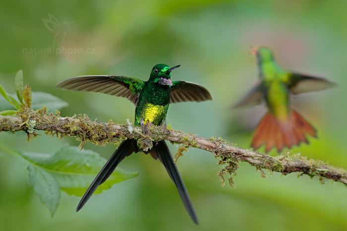 Kolibřík cístařský (Heliodoxa imperatrix)