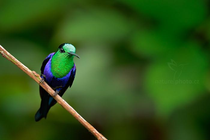 Kolibřík vidloocasý (Thalurania colombica)