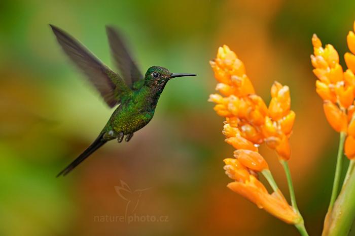 Kolibřík císařský (Heliodoxa imperatrix)