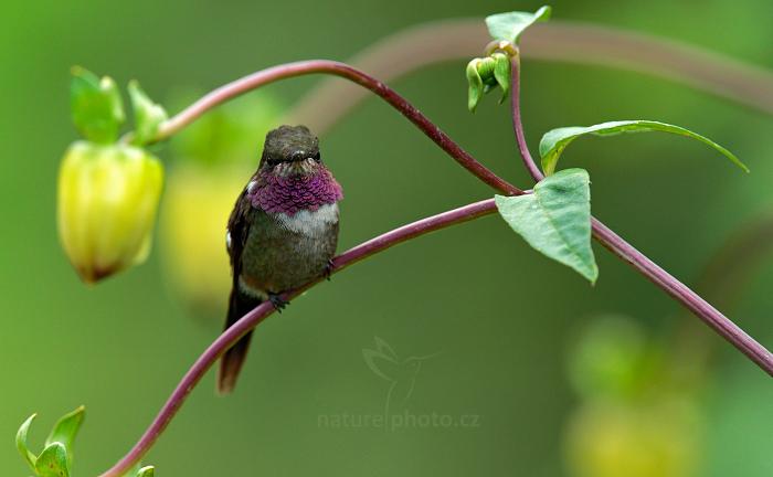 Kolibřík Mitchellův (Calliphlox mitchellii)