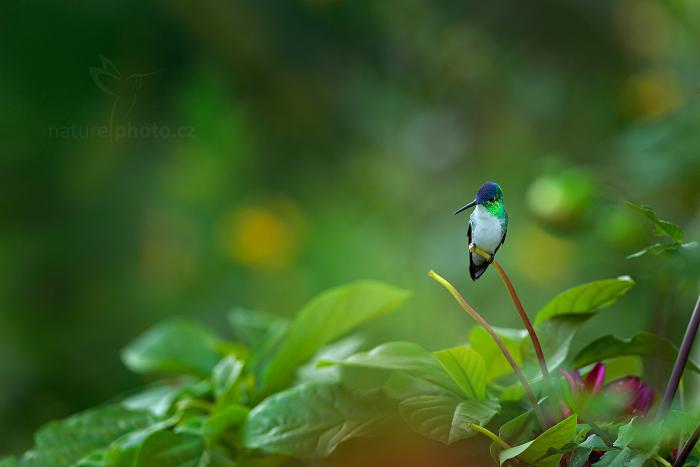 Kolibřík ostroocasý (Chaetocercus mulsant)