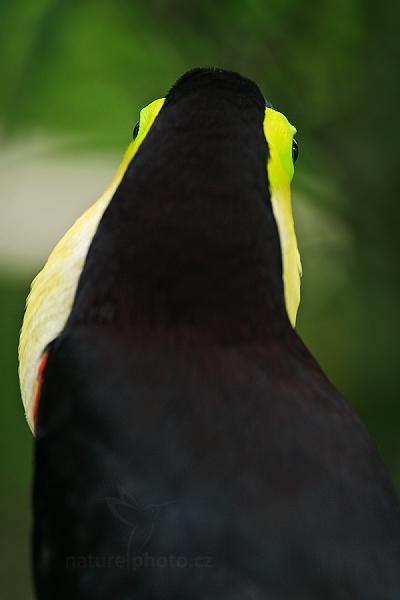 Tukan hnědohřbetý (Ramphastos swainsonii)