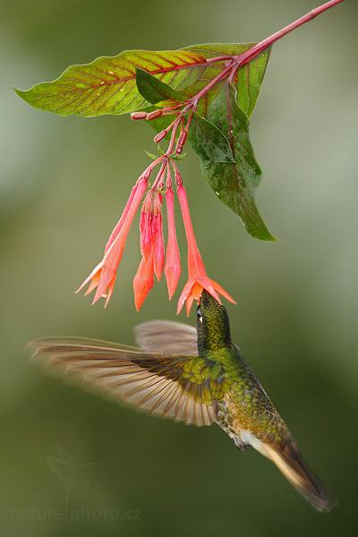 Kolibřík žlutavý (Boissonneaua flavescens)