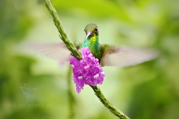 Kolibřík měděnohlavý (Elvira cupreiceps),