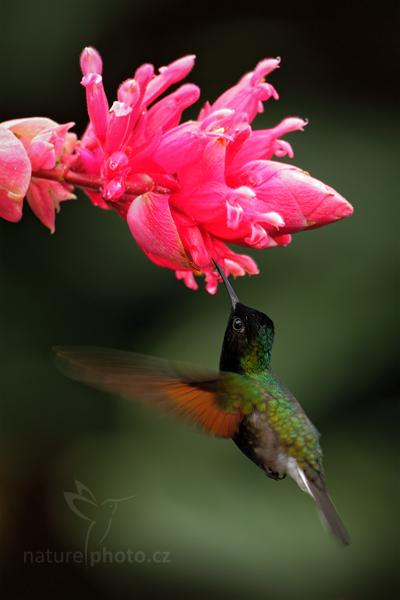 Kolibřík kostarický (Eupherusa nigriventris)