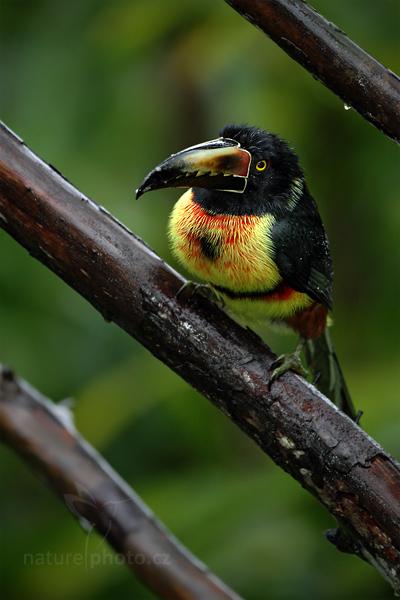 Arassari obojkový (Pteroglossus torquatus)