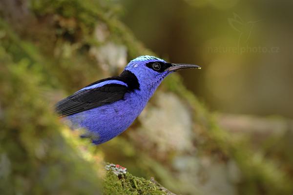 Květomil modrý (Cyanerpes cyaneus)