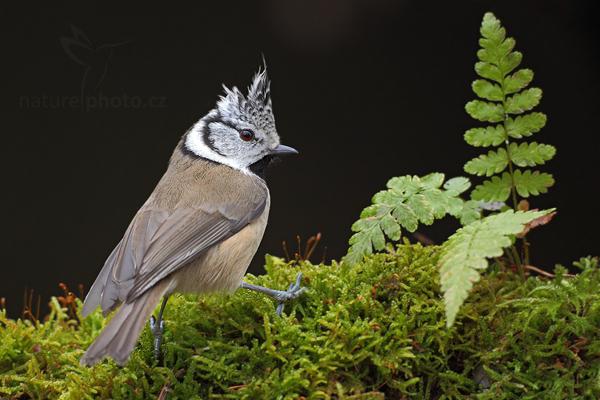 Sýkora parukářka (Parus cristatus)
