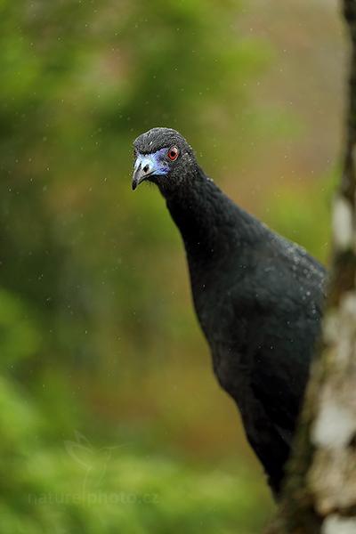 Guan černý (Chamaepetes unicolor)
