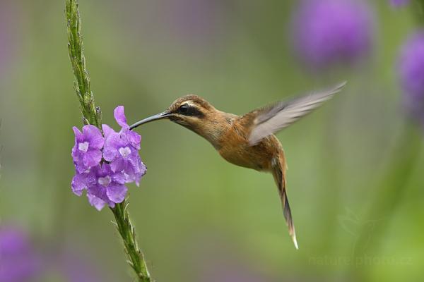 Kolibřík trpasličí (Phaethornis longuemareus)