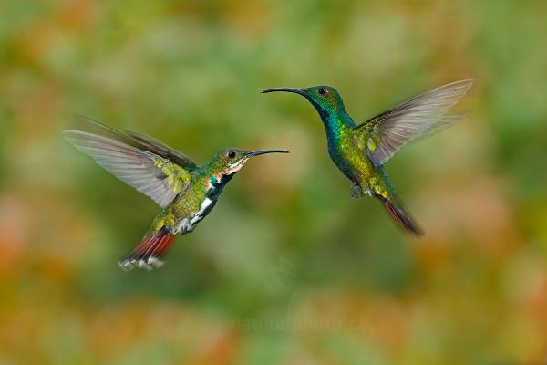 Kolibřík lesklý (Anthracothorax prevostii)