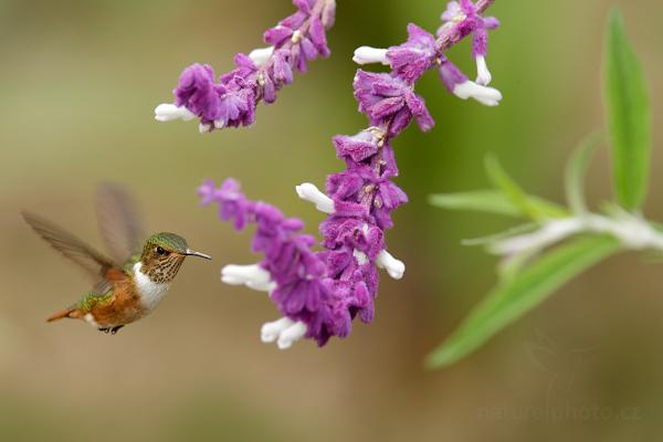 Kolibřík jiskřivý (Selasphorus scintilla)