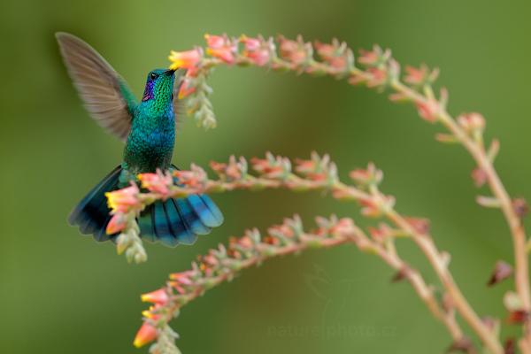 Kolibřík zelený (Colibri thalassinus)