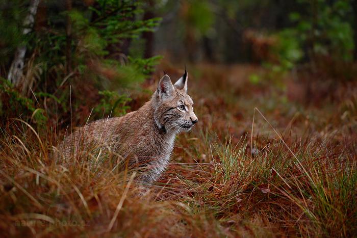 Rys ostrovid (Lynx lynx)