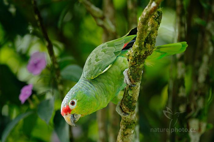 Amazoňan žlutolící (Amazona autumnalis)