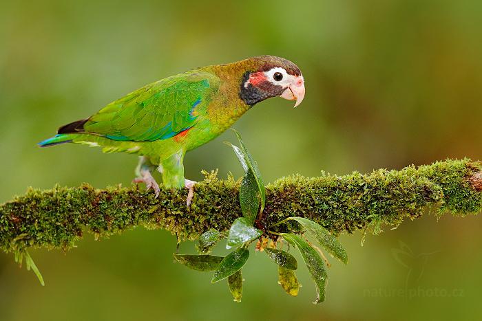 Amazónek hnědohlavý (Pionopsitta haematotis)