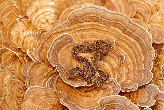 Křovinář aksamitový (Bothrops asper)