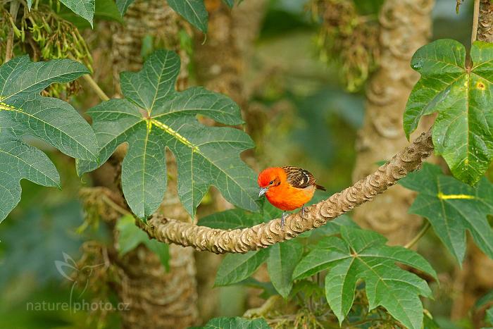 Tangara červenohnědá (Piranga bidentata)