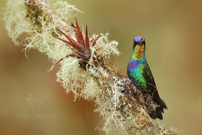 Kolibřík ohnivobradý (Panterpe insignis)