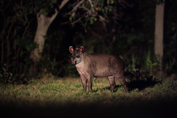 Tapír jihoamerický (Tapirus terrestris)
