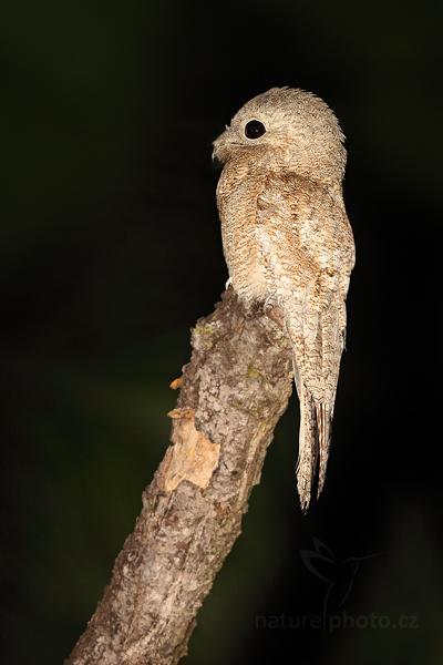 Potu velký (Nyctibius grandis)