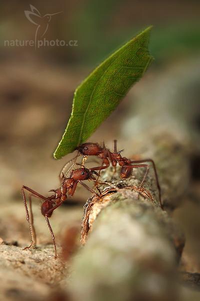 Mravenci rodu Atta (Atta cephalotes)
