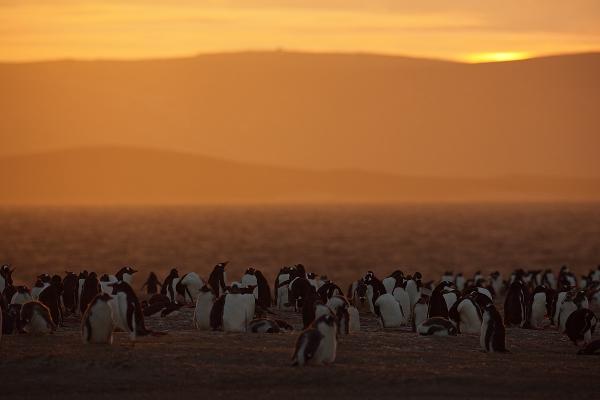 Večer v kolonii tučňáka oslího