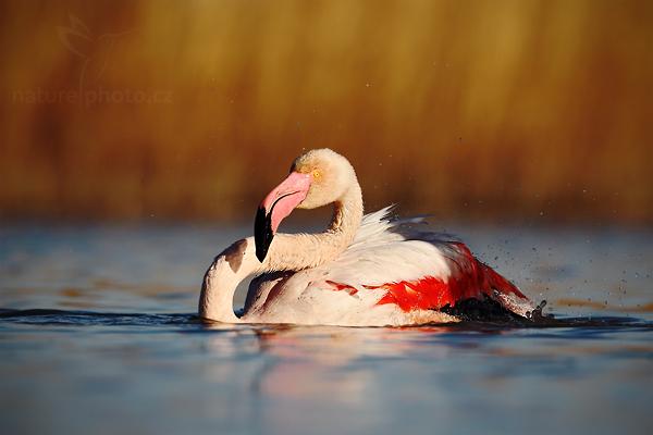 Plameňák růžový (Phoenicopterus ruber)