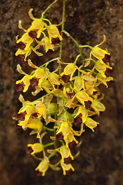 Orchidej Baptistonia echinata