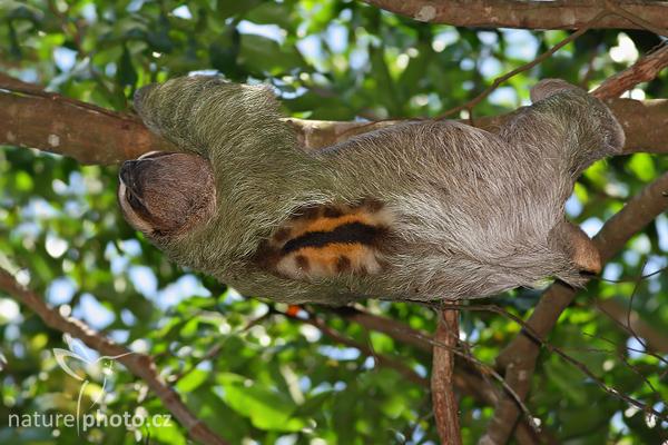 Lenochod hnědokrký (Bradypus variegatus)