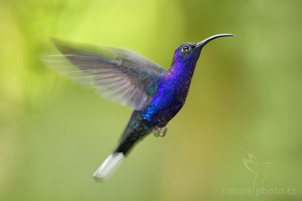 Kolibřík purpurový (Campylopterus hemileucurus)