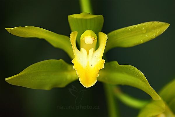 Orchidej Cymbidium lowianum alba