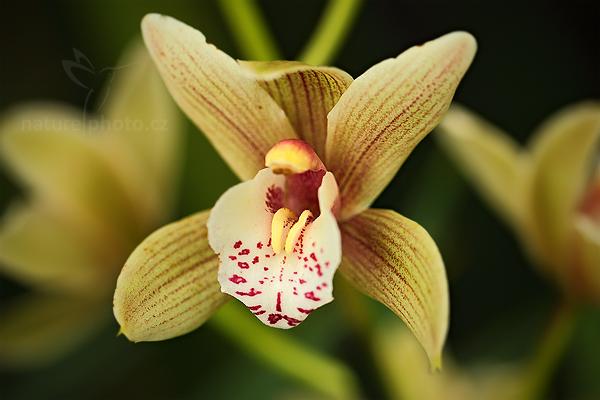 Orchidej Cymbidium tracyanum