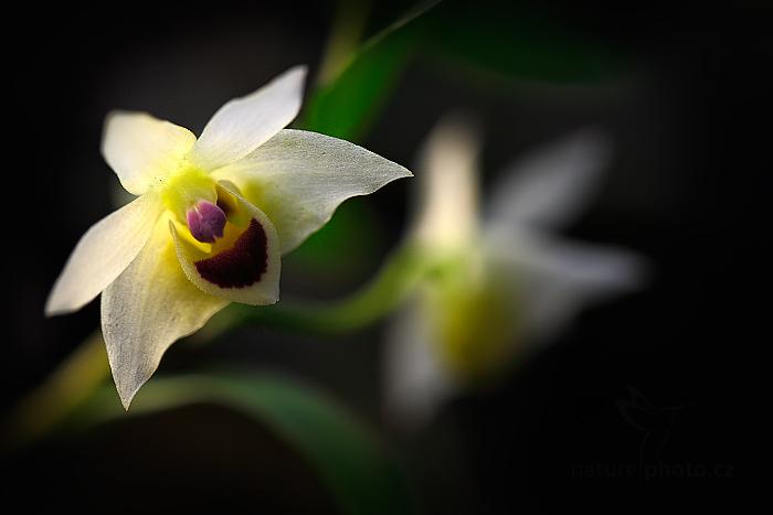 Orchidej Dendrobium guangxiense