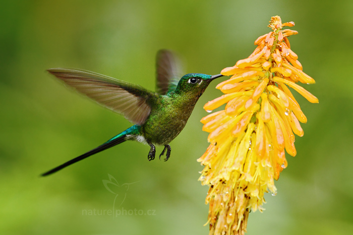 Kolibřík Kingův (Aglaiocercus kingi)