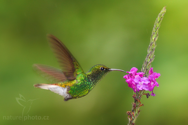 Kolibřík měděnohlavý (Elvira cupreiceps)