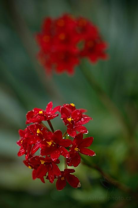 Orchidej Epidendrum radicans