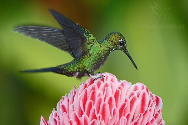 Kolibřík subtropický (Heliodoxa jacula)