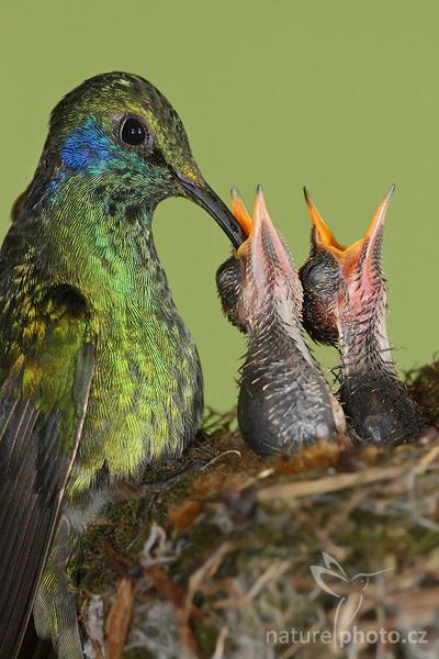 Kolibřík zelený (Colibri thalassinus), Green Violet-ear