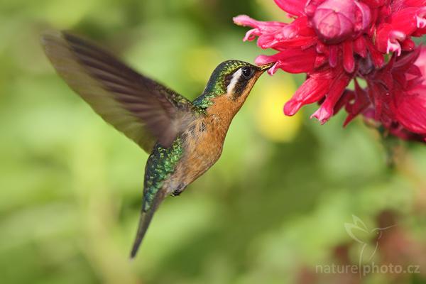 Kolibřík fialovohrdlý Lampornis calolaema = calolaemus)