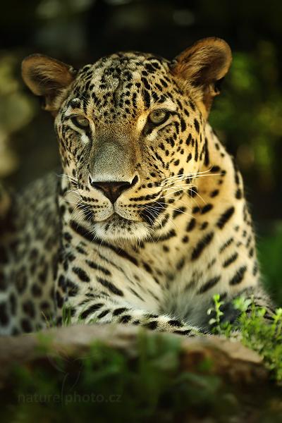 Levhart perský (Panthera pardus saxicolor)