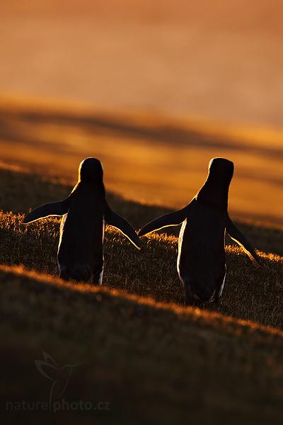 Tučňák magellanský (Spheniscus magellanicus),