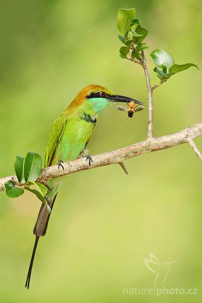 Vlha východní (Merops orientalis)