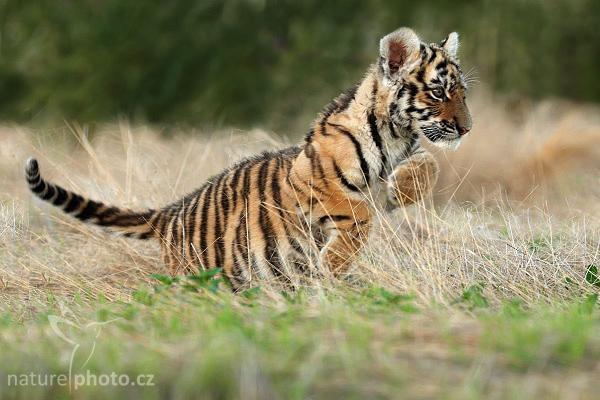 Tygr usurijský (Panthera tigris altaica)