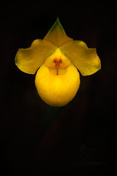 Orchidej Paphiopedilum armeniacum