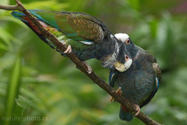 Amazónek běločelý (Pionus senilis)