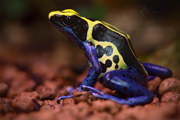 Pralesnička barvířská (Dendrobates tinctorius)