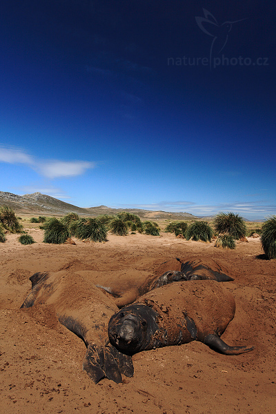 Rypouš sloní (Mirounga leonina)